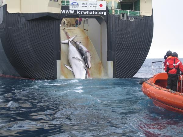 Japan_Factory_Ship_Nisshin_Maru_Whaling_Mother_and_Calf