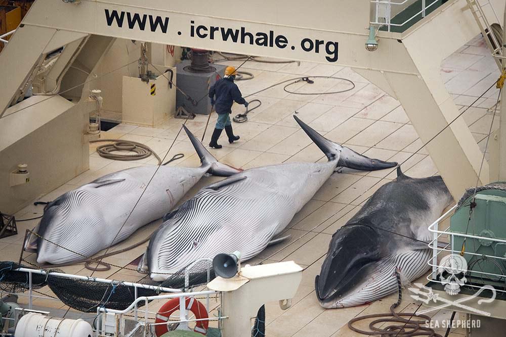 Caza de ballenas. Instituto de Investigación Cetácea deJapón.