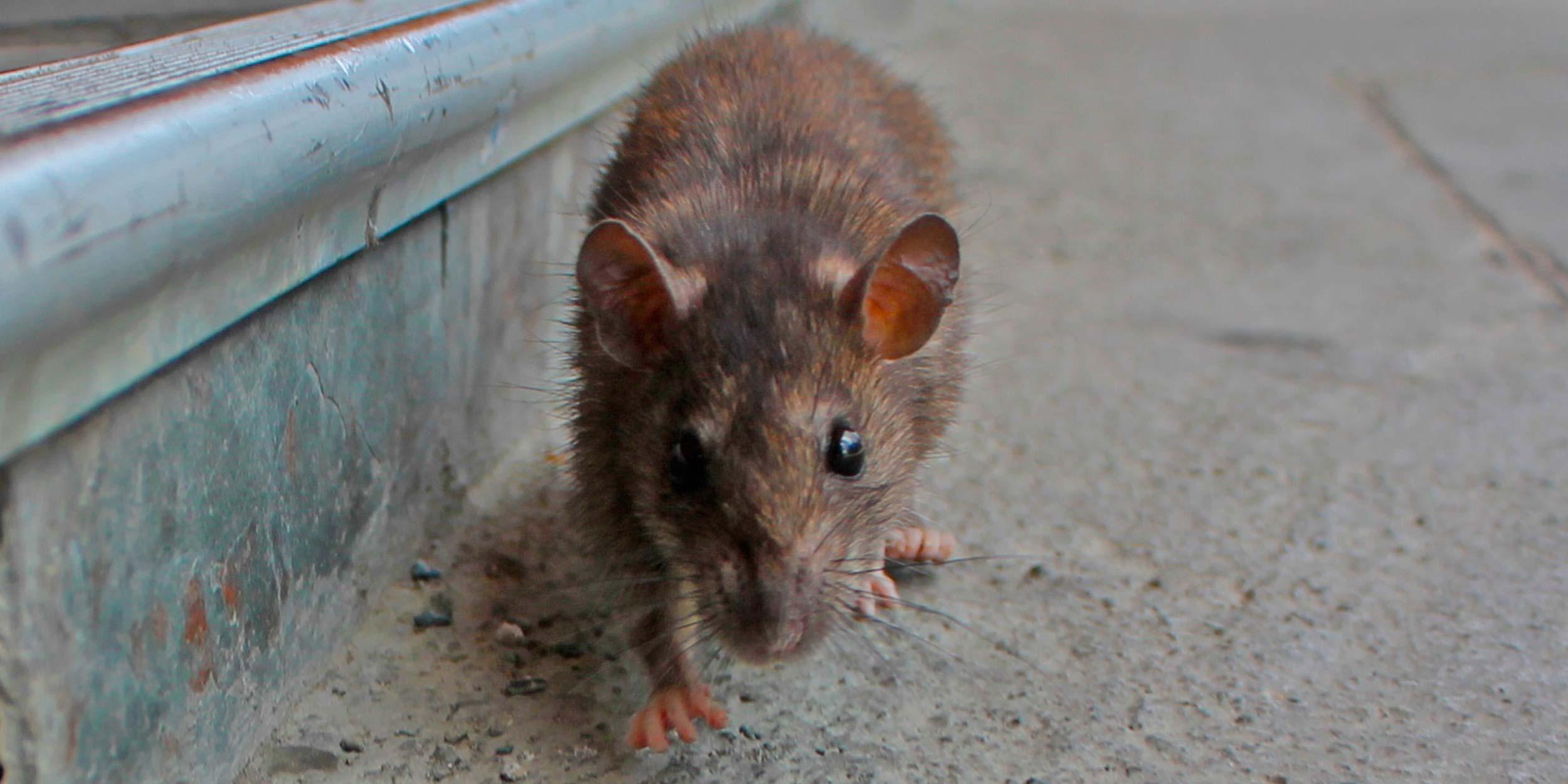 Plaga de ratones en casa latest ratones en casa cmo - Como alejar las ratas de la casa ...