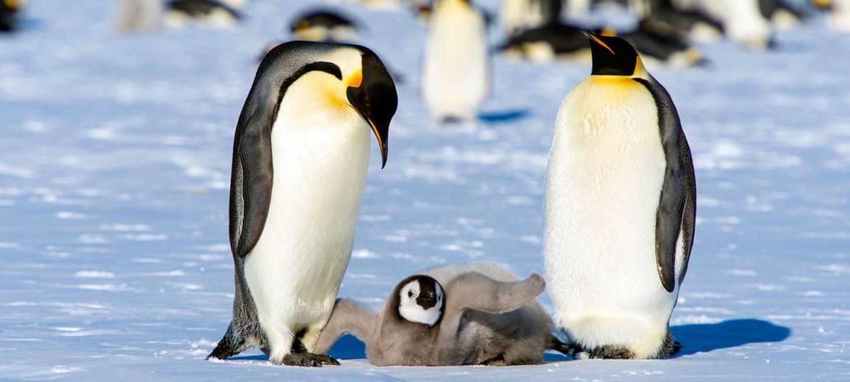 """""""¿Tienes un minuto? los pingüinos no"""" La dura campaña que busca concientizar sobre el peligro que esta especie vive"""