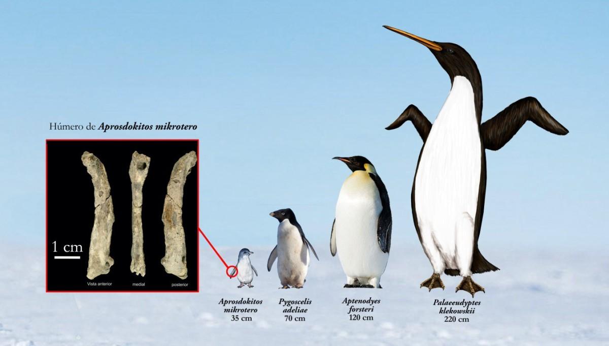 Nuevo hallazgo paleontológico en la Antártica: Aprosdokitos mikrotero (pingüino enano)